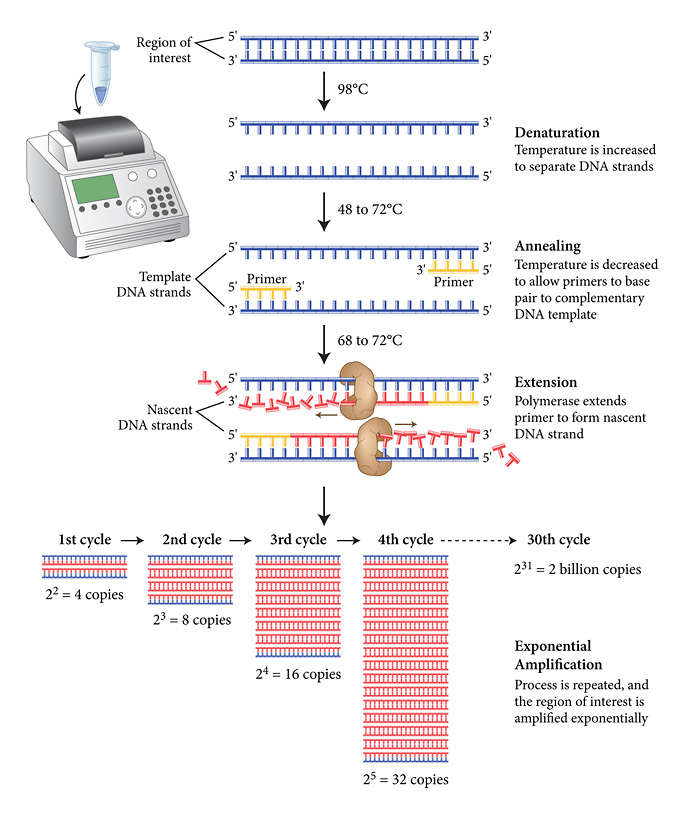 Primer designing for pcr apr 2014 just an ordinary for How much template dna for pcr